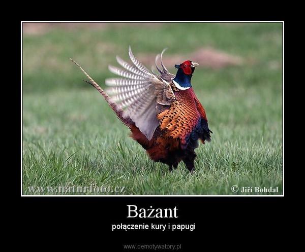 Bażant –  połączenie kury i papugi