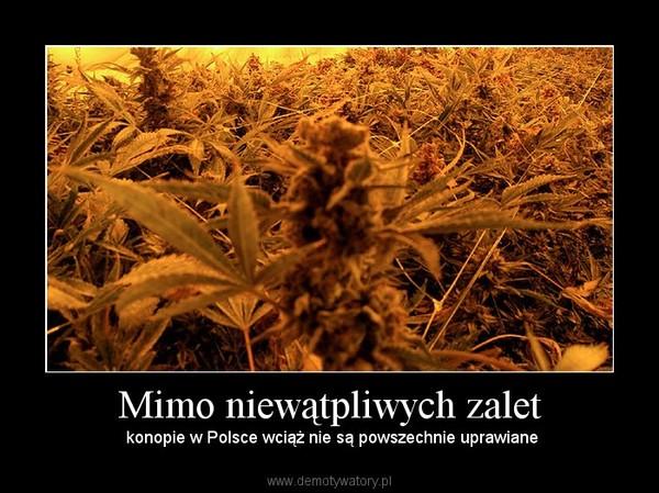 Mimo niewątpliwych zalet –  konopie w Polsce wciąż nie są powszechnie uprawiane