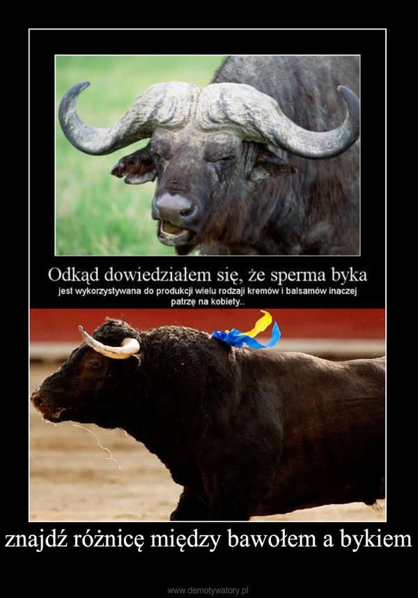 znajdź różnicę między bawołem a bykiem –