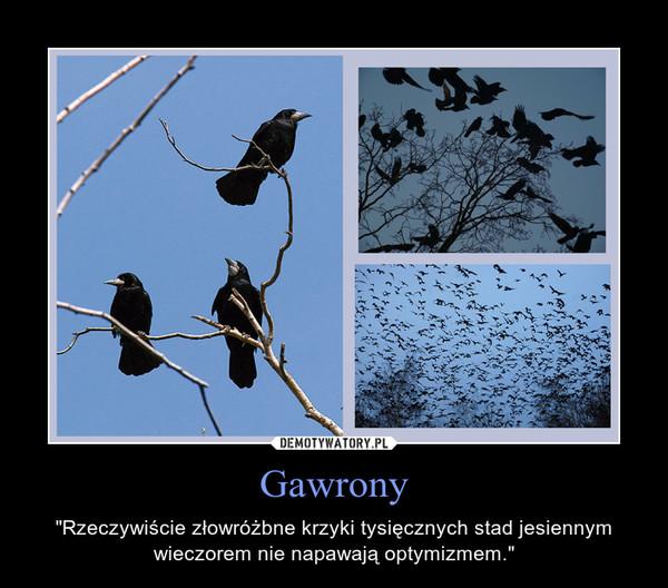 """Gawrony – """"Rzeczywiście złowróżbne krzyki tysięcznych stad jesiennym wieczorem nie napawają optymizmem."""""""