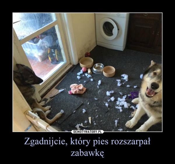 Zgadnijcie, który pies rozszarpał zabawkę –