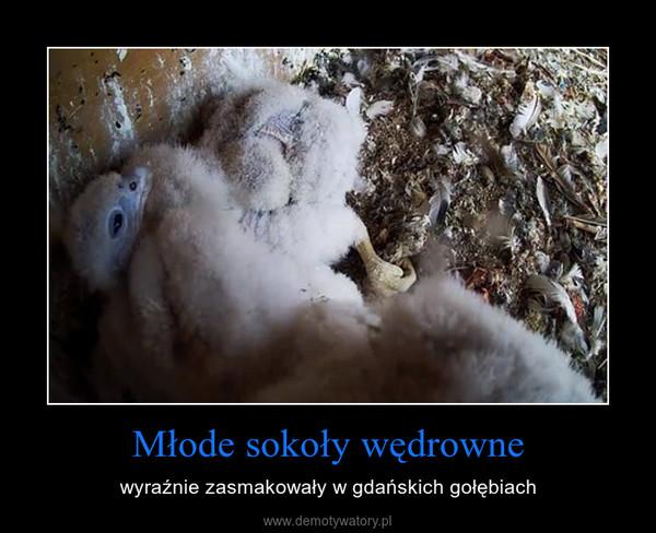 Młode sokoły wędrowne – wyraźnie zasmakowały w gdańskich gołębiach
