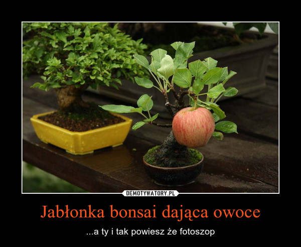 Jabłonka bonsai dająca owoce – ...a ty i tak powiesz że fotoszop