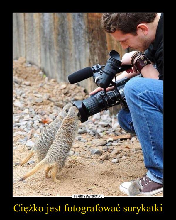 Ciężko jest fotografować surykatki –