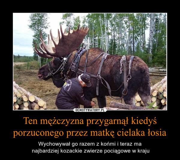 Ten mężczyzna przygarnął kiedyś porzuconego przez matkę cielaka łosia – Wychowywał go razem z końmi i teraz ma najbardziej kozackie zwierze pociągowe w kraju