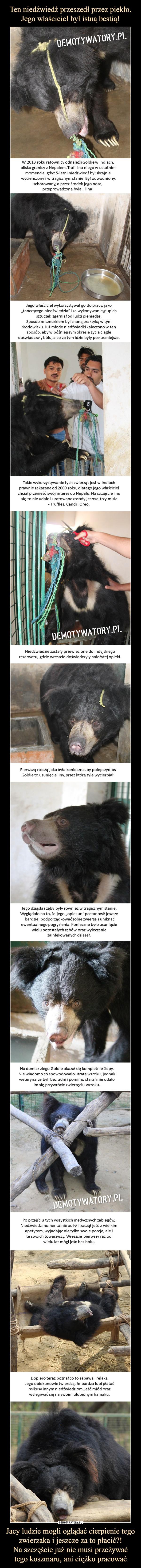 """Jacy ludzie mogli oglądać cierpienie tego zwierzaka i jeszcze za to płacić?!Na szczęście już nie musi przeżywaćtego koszmaru, ani ciężko pracować –  W 2013 roku ratownicy odnaleźli Goldie w Indiach, blisko granicy z Nepalem. Trafili na niego w ostatnim momencie, gdyż 5-letni niedźwiedź był skrajnie wycieńczony i w tragicznym stanie. Był odwodniony, schorowany, a przez środek jego nosa, przeprowadzona była… lina!  Jego właściciel wykorzystywał go do pracy, jako""""tańczącego niedźwiedzia"""" i za wykonywanie głupichsztuczek zgarniał od ludzi pieniądze. Sposób ze sznurkiem był znaną praktyką w tymśrodowisku. Już młode niedźwiadki kaleczono w ten sposób, aby w późniejszym okresie życia ciągledoświadczały bólu, a co za tym idzie były posłuszniejsze.Takie wykorzystywanie tych zwierząt jest w Indiachprawnie zakazane od 2009 roku, dlatego jego właścicielchciał przenieść swój interes do Nepalu. Na szczęście mu się to nie udało i uratowane zostały jeszcze trzy misie- Truffles, Candi i Oreo.Niedźwiedzie zostały przewiezione do indyjskiegorezerwatu, gdzie wreszcie doświadczyły należytej opieki.Pierwszą rzeczą jaka była konieczna, by polepszyć los Goldie to usunięcie liny, przez którą tyle wycierpiał.Jego dziąsła i zęby były również w tragicznym stanie.Wyglądało na to, że jego """"opiekun"""" postanowił jeszcze bardziej podporządkować sobie zwierzę i uniknąćewentualnego pogryzienia. Konieczne było usunięciewielu pozostałych zębów oraz wyleczenie zainfekowanych dziąseł.Na domiar złego Goldie okazał się kompletnie ślepy.Nie wiadomo co spowodowało utratę wzroku, jednakweterynarze byli bezradni i pomimo starań nie udałoim się przywrócić zwierzęciu wzroku.Po przejściu tych wszystkich medycznych zabiegów,Niedźwiedź momentalnie odżył i zaczął jeść z wielkimapetytem, wyjadając nie tylko swoje porcje, ale i te swoich towarzyszy. Wreszcie pierwszy raz od wielu lat mógł jeść bez bólu.Dopiero teraz poznał co to zabawa i relaks.Jego opiekunowie twierdzą, że bardzo lubi płataćpsikusy innym niedźwiedziom"""