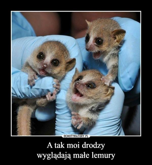 A tak moi drodzywyglądają małe lemury –