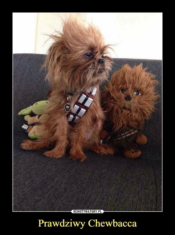 Prawdziwy Chewbacca –