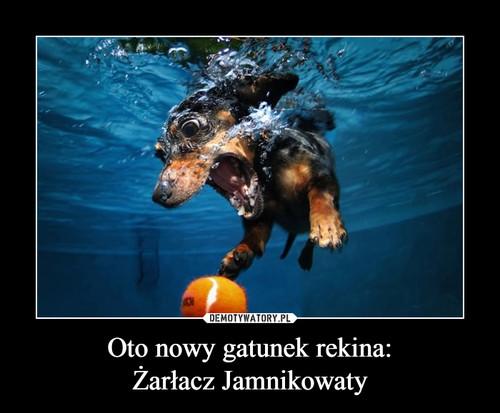 Oto nowy gatunek rekina: Żarłacz Jamnikowaty