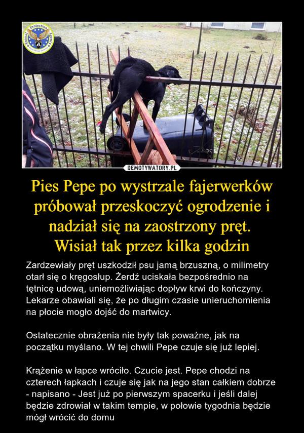 Pies Pepe po wystrzale fajerwerków próbował przeskoczyć ogrodzenie i nadział się na zaostrzony pręt. Wisiał tak przez kilka godzin – Zardzewiały pręt uszkodził psu jamą brzuszną, o milimetry otarł się o kręgosłup. Żerdź uciskała bezpośrednio na tętnicę udową, uniemożliwiając dopływ krwi do kończyny. Lekarze obawiali się, że po długim czasie unieruchomienia na płocie mogło dojść do martwicy.Ostatecznie obrażenia nie były tak poważne, jak na początku myślano. W tej chwili Pepe czuje się już lepiej.Krążenie w łapce wróciło. Czucie jest. Pepe chodzi na czterech łapkach i czuje się jak na jego stan całkiem dobrze - napisano - Jest już po pierwszym spacerku i jeśli dalej będzie zdrowiał w takim tempie, w połowie tygodnia będzie mógł wrócić do domu