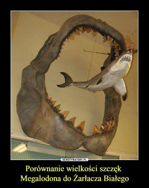 Porównanie wielkości szczęk  Megalodona do Żarłacza Białego