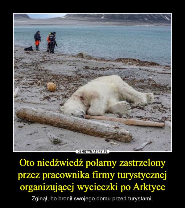 Oto niedźwiedź polarny zastrzelony przez pracownika firmy turystycznej organizującej wycieczki po Arktyce – Zginął, bo bronił swojego domu przed turystami.