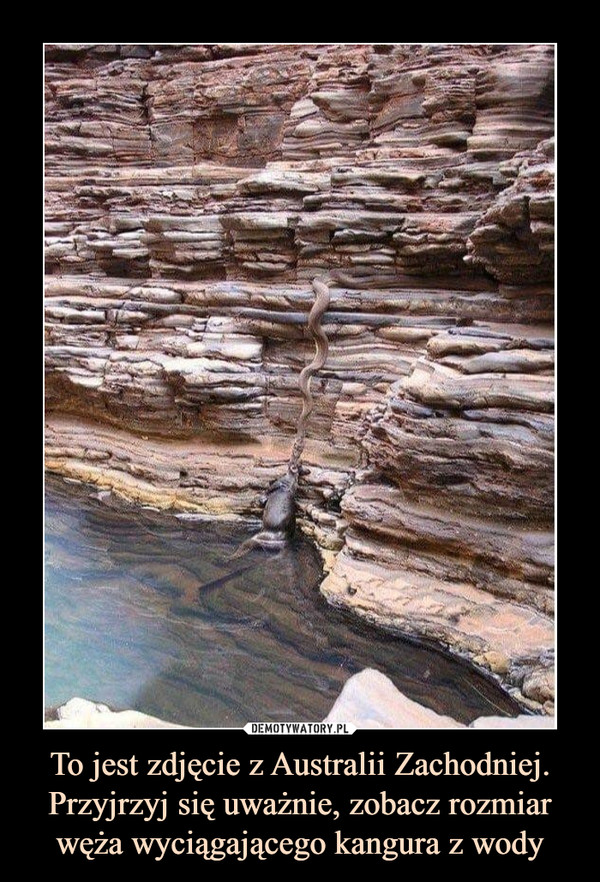 To jest zdjęcie z Australii Zachodniej. Przyjrzyj się uważnie, zobacz rozmiar węża wyciągającego kangura z wody –