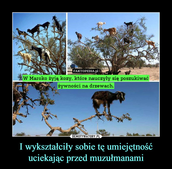 I wykształciły sobie tę umiejętność uciekając przed muzułmanami –  W Maroko żyją kozy, które nauczyły się poszukiwać żywności na drzewach.
