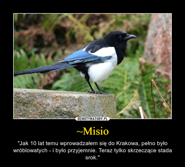 """~Misio – """"Jak 10 lat temu wprowadzałem się do Krakowa, pełno było wróblowatych - i było przyjemnie. Teraz tylko skrzeczące stada srok."""""""