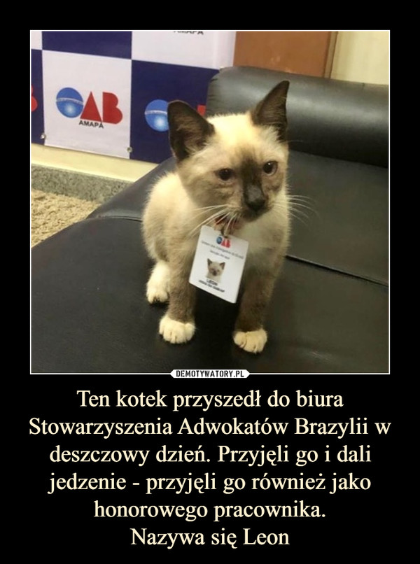 Ten kotek przyszedł do biura Stowarzyszenia Adwokatów Brazylii w deszczowy dzień. Przyjęli go i dali jedzenie - przyjęli go również jako honorowego pracownika.Nazywa się Leon –
