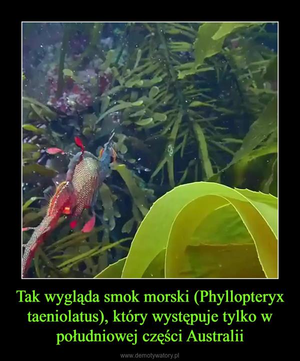 Tak wygląda smok morski (Phyllopteryx taeniolatus), który występuje tylko w południowej części Australii –