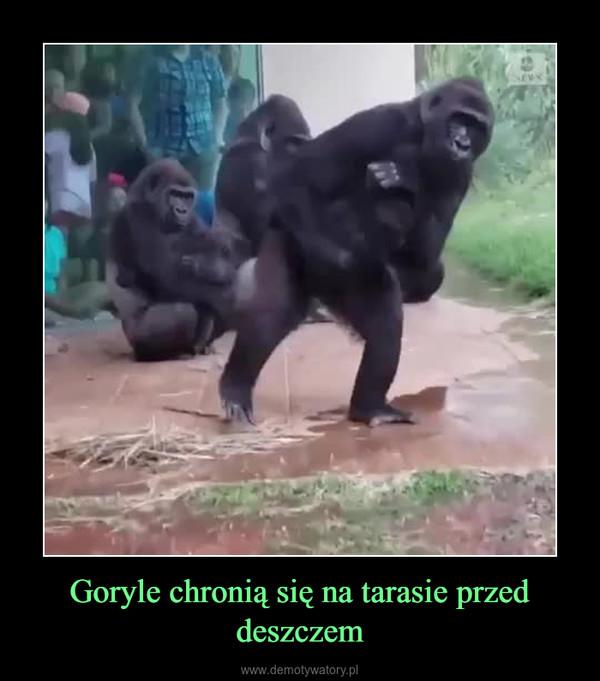 Goryle chronią się na tarasie przed deszczem –