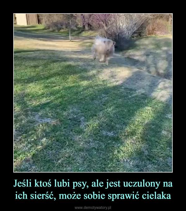 Jeśli ktoś lubi psy, ale jest uczulony na ich sierść, może sobie sprawić cielaka –