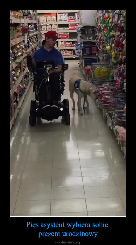 Pies asystent wybiera sobie prezent urodzinowy –