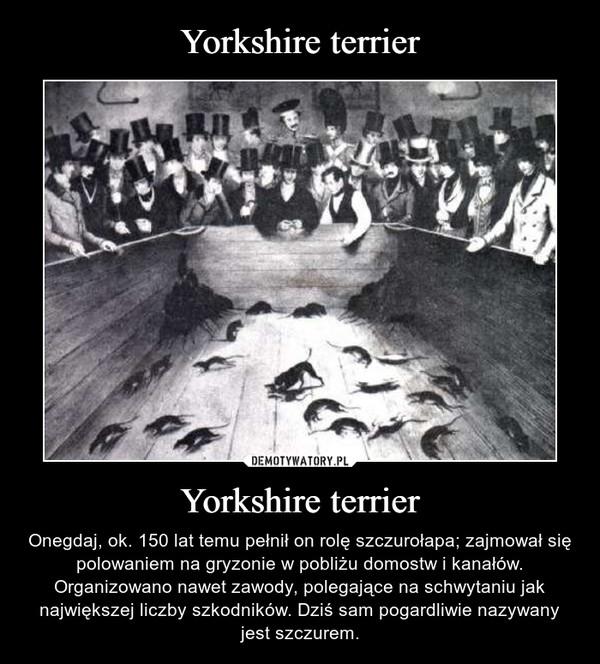 Yorkshire terrier – Onegdaj, ok. 150 lat temu pełnił on rolę szczurołapa; zajmował się polowaniem na gryzonie w pobliżu domostw i kanałów. Organizowano nawet zawody, polegające na schwytaniu jak największej liczby szkodników. Dziś sam pogardliwie nazywany jest szczurem.