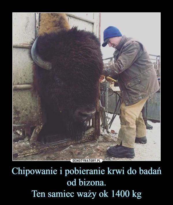 Chipowanie i pobieranie krwi do badań od bizona.Ten samiec waży ok 1400 kg –