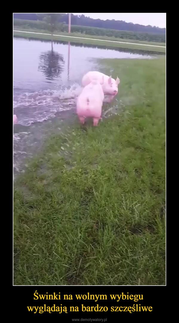 Świnki na wolnym wybiegu wyglądają na bardzo szczęśliwe –