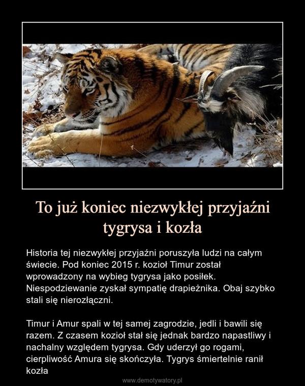 To już koniec niezwykłej przyjaźni tygrysa i kozła – Historia tej niezwykłej przyjaźni poruszyła ludzi na całym świecie. Pod koniec 2015 r. kozioł Timur został wprowadzony na wybieg tygrysa jako posiłek. Niespodziewanie zyskał sympatię drapieżnika. Obaj szybko stali się nierozłączni.Timur i Amur spali w tej samej zagrodzie, jedli i bawili się razem. Z czasem kozioł stał się jednak bardzo napastliwy i nachalny względem tygrysa. Gdy uderzył go rogami, cierpliwość Amura się skończyła. Tygrys śmiertelnie ranił kozła