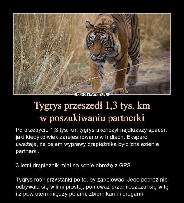 Tygrys przeszedł 1,3 tys. kmw poszukiwaniu partnerki – Po przebyciu 1,3 tys. km tygrys ukończył najdłuższy spacer, jaki kiedykolwiek zarejestrowano w Indiach. Eksperci uważają, że celem wyprawy drapieżnika było znalezienie partnerki.3-letni drapieżnik miał na sobie obrożę z GPSTygrys robił przystanki po to, by zapolować. Jego podróż nie odbywała się w linii prostej, ponieważ przemieszczał się w tę i z powrotem między polami, zbiornikami i drogami