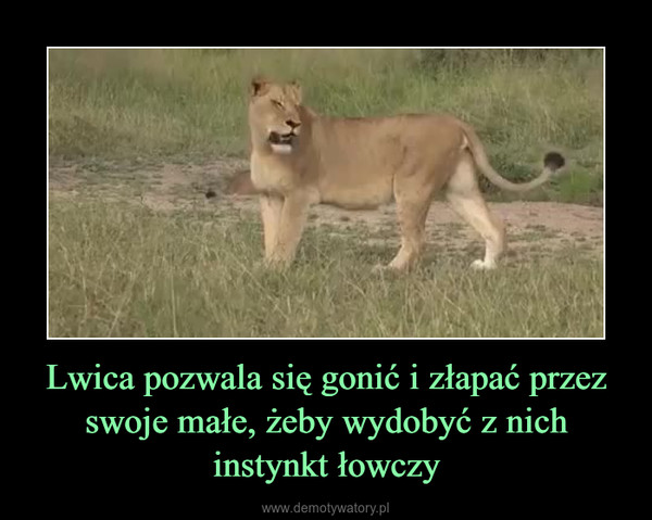 Lwica pozwala się gonić i złapać przez swoje małe, żeby wydobyć z nich instynkt łowczy –