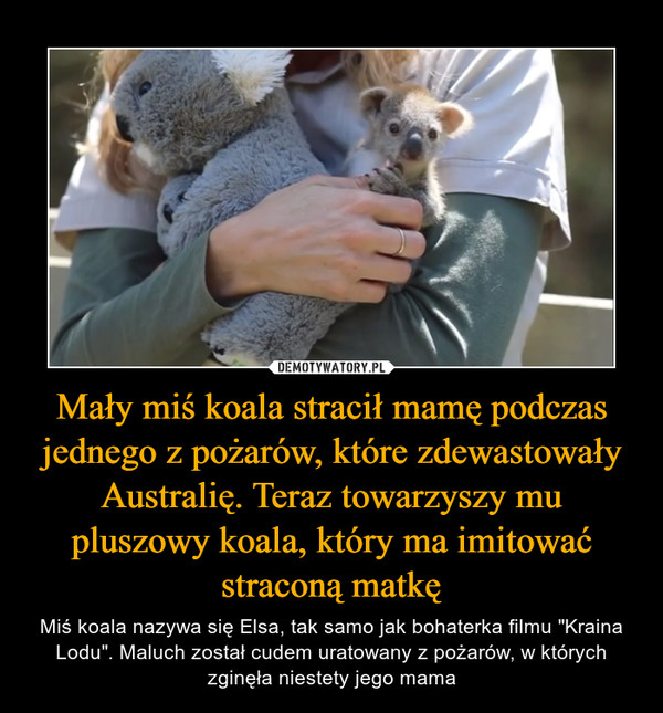 """Mały miś koala stracił mamę podczas jednego z pożarów, które zdewastowały Australię. Teraz towarzyszy mu pluszowy koala, który ma imitować straconą matkę – Miś koala nazywa się Elsa, tak samo jak bohaterka filmu """"Kraina Lodu"""". Maluch został cudem uratowany z pożarów, w których zginęła niestety jego mama"""