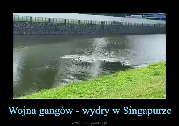 Wojna gangów - wydry w Singapurze –