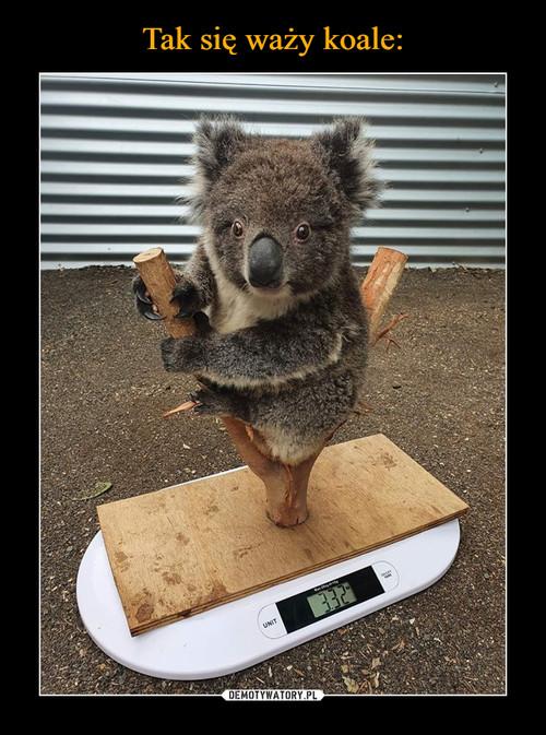 Tak się waży koale: