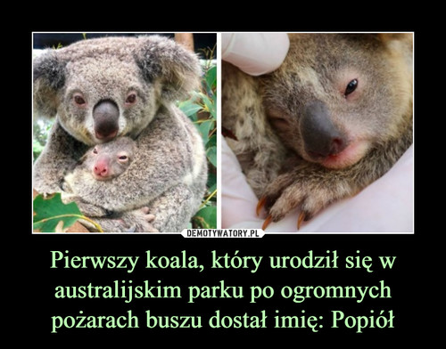 Pierwszy koala, który urodził się w australijskim parku po ogromnych pożarach buszu dostał imię: Popiół