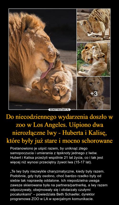 Do niecodziennego wydarzenia doszło w zoo w Los Angeles. Uśpiono dwa nierozłączne lwy - Huberta i Kalisę, które były już stare i mocno schorowane