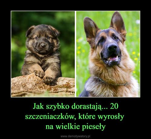 Jak szybko dorastają... 20 szczeniaczków, które wyrosły  na wielkie pieseły