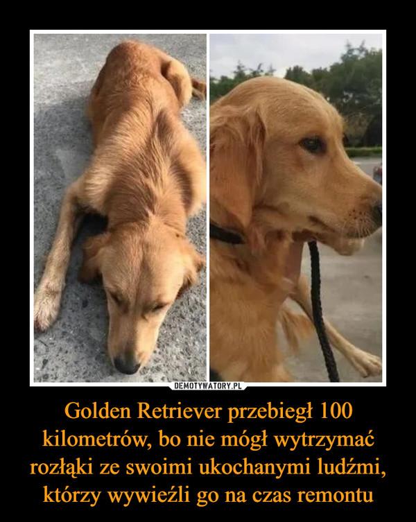 Golden Retriever przebiegł 100 kilometrów, bo nie mógł wytrzymać rozłąki ze swoimi ukochanymi ludźmi, którzy wywieźli go na czas remontu –