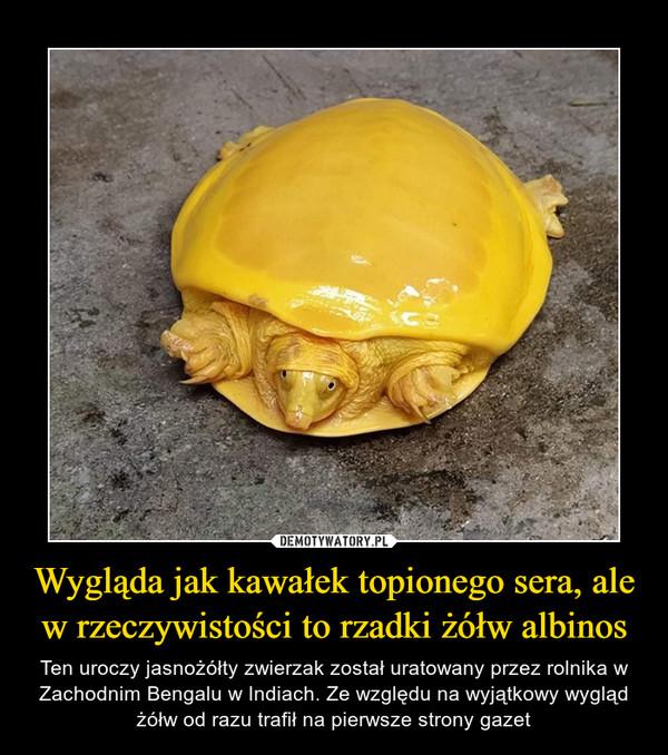 Wygląda jak kawałek topionego sera, ale w rzeczywistości to rzadki żółw albinos – Ten uroczy jasnożółty zwierzak został uratowany przez rolnika w Zachodnim Bengalu w Indiach. Ze względu na wyjątkowy wygląd żółw od razu trafił na pierwsze strony gazet