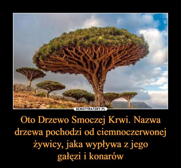Oto Drzewo Smoczej Krwi. Nazwa drzewa pochodzi od ciemnoczerwonej żywicy, jaka wypływa z jegogałęzi i konarów –