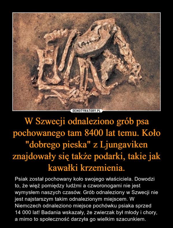 """W Szwecji odnaleziono grób psa pochowanego tam 8400 lat temu. Koło """"dobrego pieska"""" z Ljungaviken znajdowały się także podarki, takie jak kawałki krzemienia. – Psiak został pochowany koło swojego właściciela. Dowodzi to, że więź pomiędzy ludźmi a czworonogami nie jest wymysłem naszych czasów. Grób odnaleziony w Szwecji nie jest najstarszym takim odnalezionym miejscem. W Niemczech odnaleziono miejsce pochówku psiaka sprzed 14 000 lat! Badania wskazały, że zwierzak był młody i chory, a mimo to społeczność darzyła go wielkim szacunkiem."""