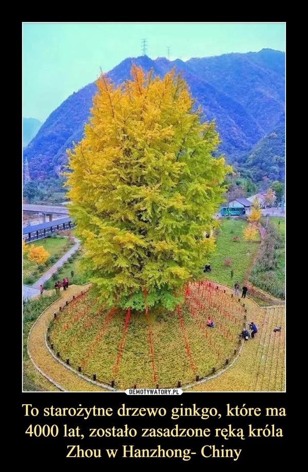 To starożytne drzewo ginkgo, które ma 4000 lat, zostało zasadzone ręką króla Zhou w Hanzhong- Chiny –