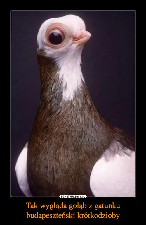 Tak wygląda gołąb z gatunku budapeszteński krótkodzioby