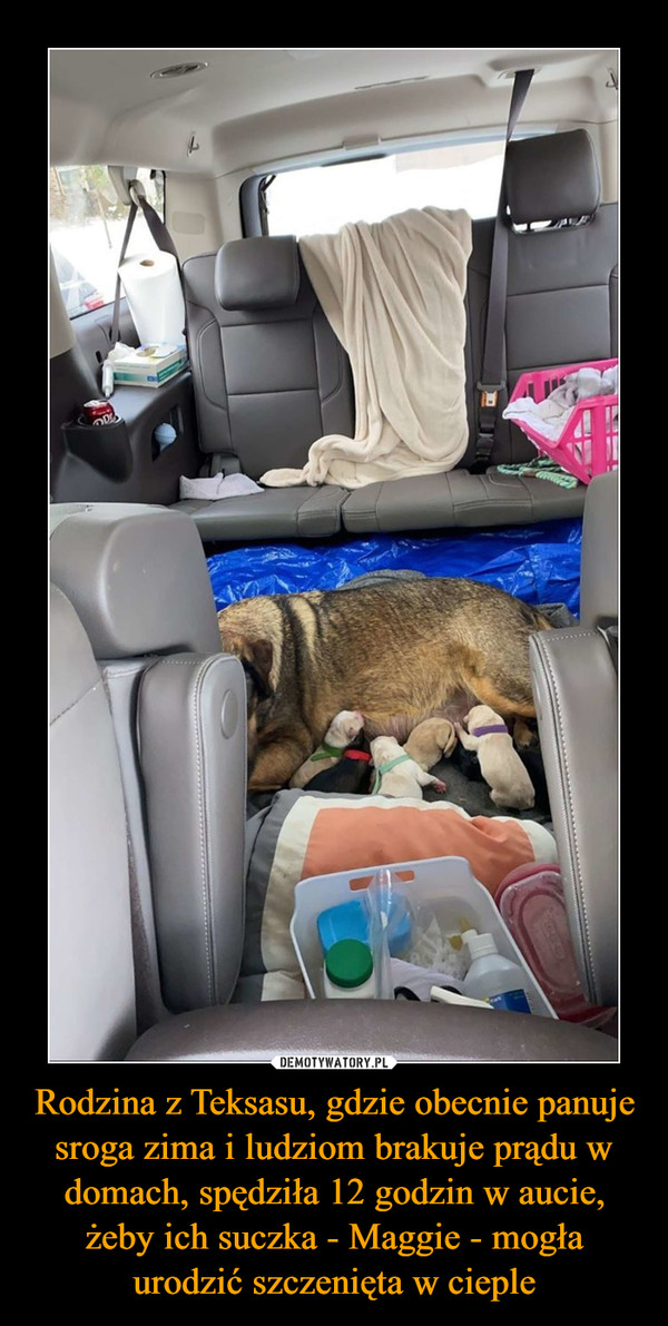 Rodzina z Teksasu, gdzie obecnie panuje sroga zima i ludziom brakuje prądu w domach, spędziła 12 godzin w aucie, żeby ich suczka - Maggie - mogła urodzić szczenięta w cieple –