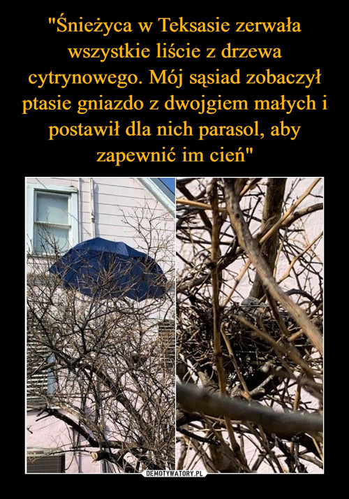 """""""Śnieżyca w Teksasie zerwała wszystkie liście z drzewa cytrynowego. Mój sąsiad zobaczył ptasie gniazdo z dwojgiem małych i postawił dla nich parasol, aby zapewnić im cień"""""""