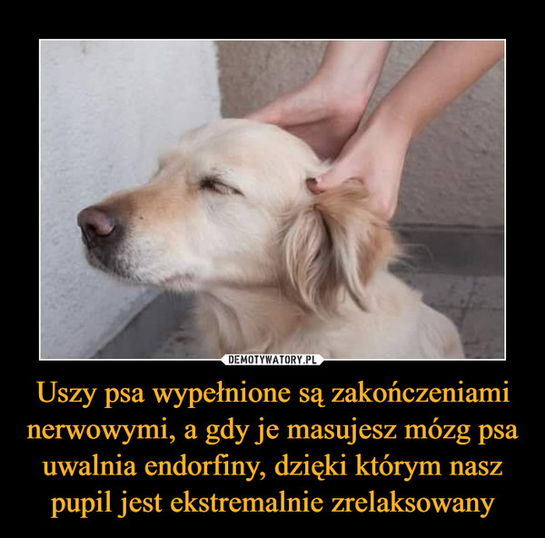 Uszy psa wypełnione są zakończeniami nerwowymi, a gdy je masujesz mózg psa uwalnia endorfiny, dzięki którym nasz pupil jest ekstremalnie zrelaksowany –